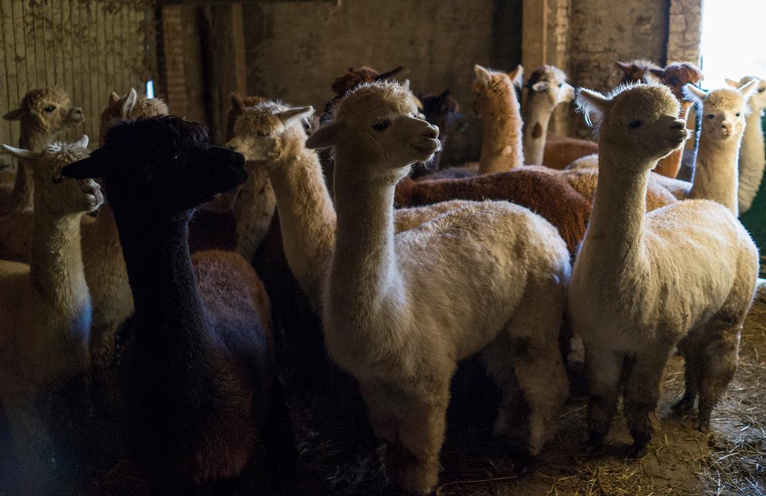Alpaca's in de stal