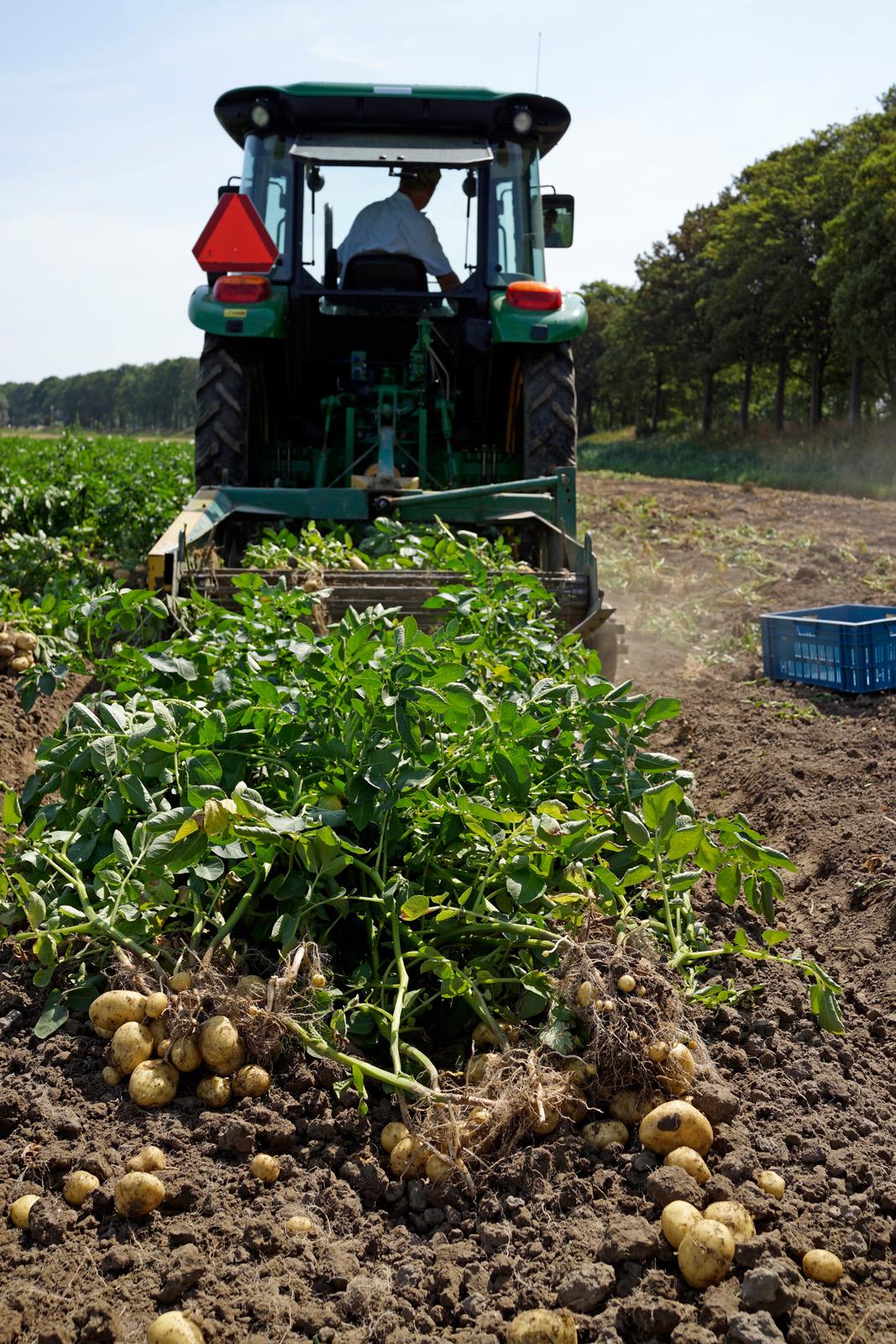 aardappels rooien