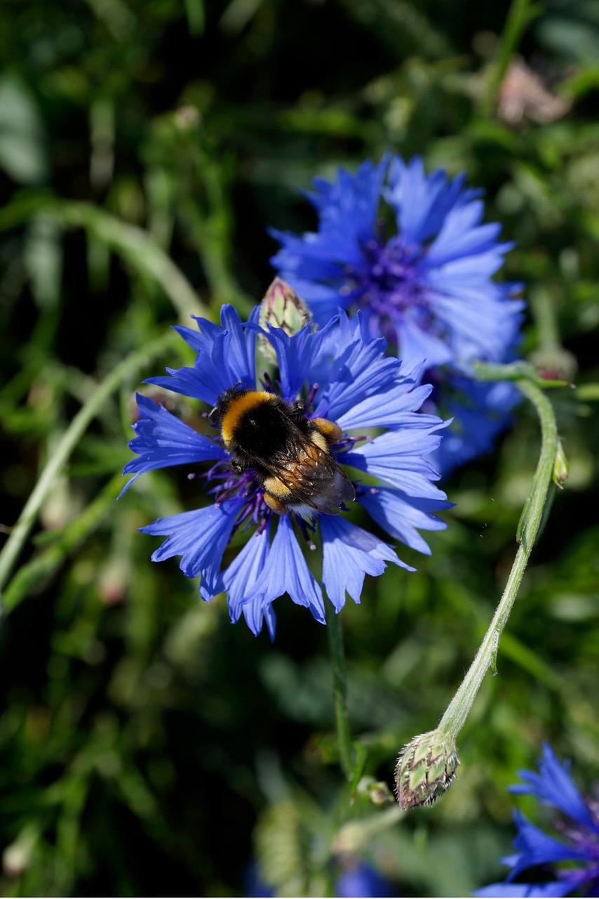 Wilde bijen