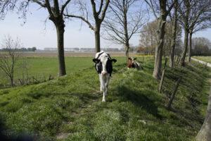 Koeien op het Vossenpad