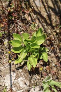Parnassia plantje